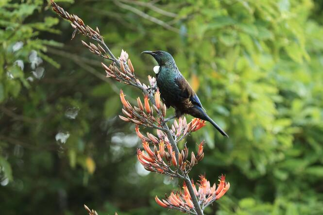 Tui sitting in tree